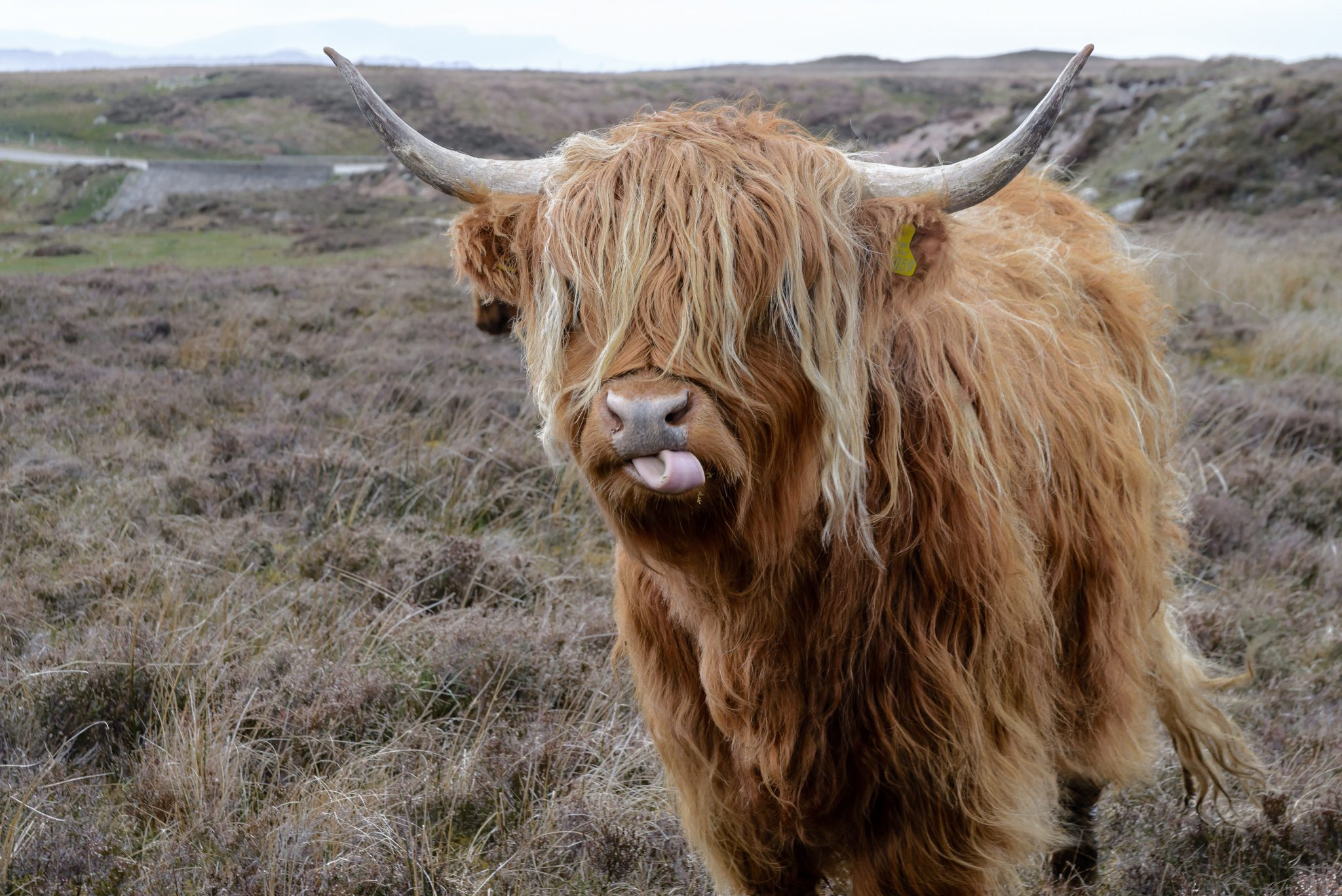 trebandy-farm-herefordshire-highland-cattle-grassfed-beef-wildreared-ethical-livestock-sustainable-farming-1