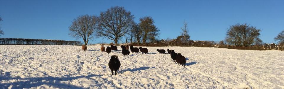 Trebandy Sheep Snow